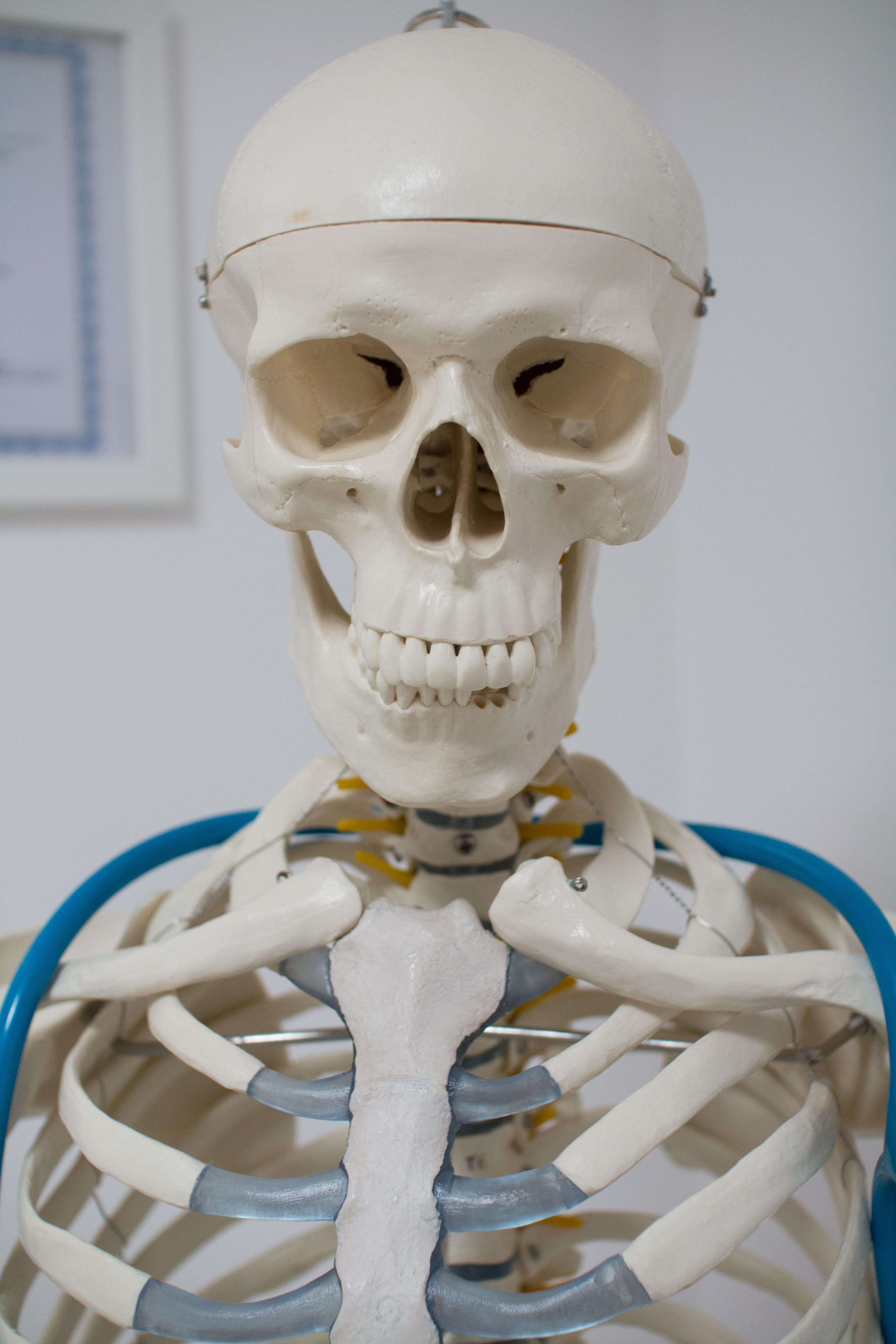 Szkielet anatomiczny